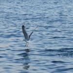 Gabbiano sul mare